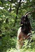 Valais bleckneck goat