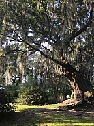 The Old Live Oak Tree