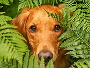 Golden Retriever Ferns