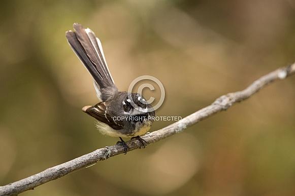 Grey Fantail (wild).
