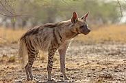 Indian Striped Hyena from Blackbuck National Park, Velavadaar, Bhavnagar, India