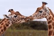Kordofan Giraffes 'Kissing'
