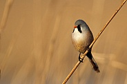 The bearded reedling