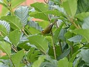 Wilson's Warbler in Alaska