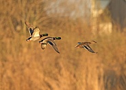 Mallard Ducks in Flight