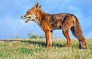 A male Fox