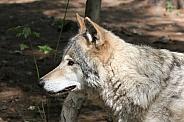 Wolf Portrait