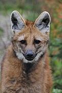 Maned wolve