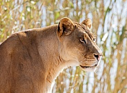 Lioness posing for a portrait by some bamboo