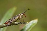 Panorpidae