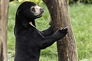 Sun Bear Youngster Standing Holding On To Tree