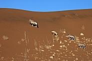 Gemsbok (Oryx) - Namib- Desert - Namibia