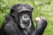 Chimpanzee Close Up Holding An Apple