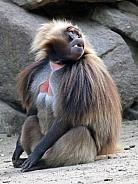 Gelada Baboon (Male)