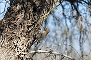 Female Gila Woodpecker