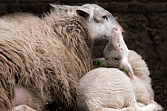 Sheep and Lamb in the Netherlands