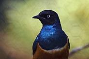 Spreo Starling