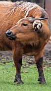 dwarf water buffalo