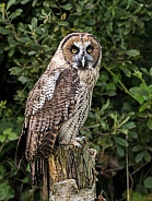 Hybrid Owl Species On Tree Stump Looking At Camera