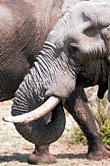 Elephant and tusk
