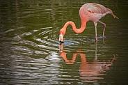 Full Body Caribbean Flamingo