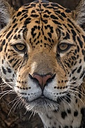 Jaguar Closeup (Panthera Onca)