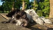 Dutch Sheepdog (Schapendoes)