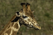 Kordofan Giraffe close up headshot