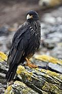 Striated Caracara - Falkland Islands