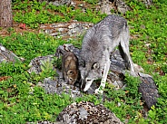 Tundra Wolf pup and adult female