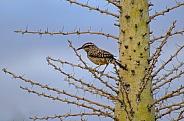 Cactus Wren in Boojum Tree