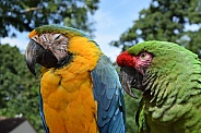 blue and gold macaw and great green macaw
