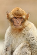 Barbary monkey youngster