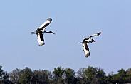 Saddlebilled Storks - Botswana