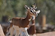 A Young Mhorr Gazelle