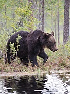 Eurpoean brown bears