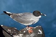 Swallow-tailed Gull - Galapagos Islands