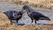 Common Raven Exhibiting  Nurturing Behavior