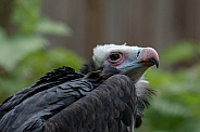 White-headed vulture Portrait