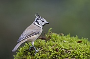 The Crested Tit