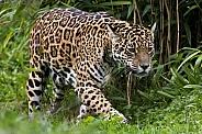 Jaguar (Panthera onca) - Brazil