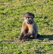 Juvenile Chacma baboon