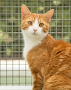 Domestic Shorthair Ginger Tom