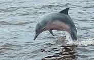 Guiana Dolphin (wild)