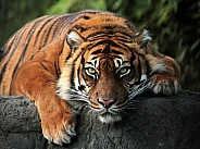 Sumatran tigress