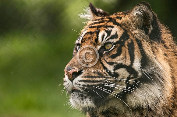 Sumatran Tiger Side Profile Close Up Face Shot