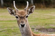 close up, young Persian fallow deer