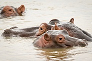 Group of hippos in water