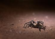 Arizona blond tarantula, Aphonopelma chalcodes