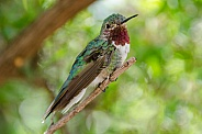Broad-tailed Hummingbird (Male)